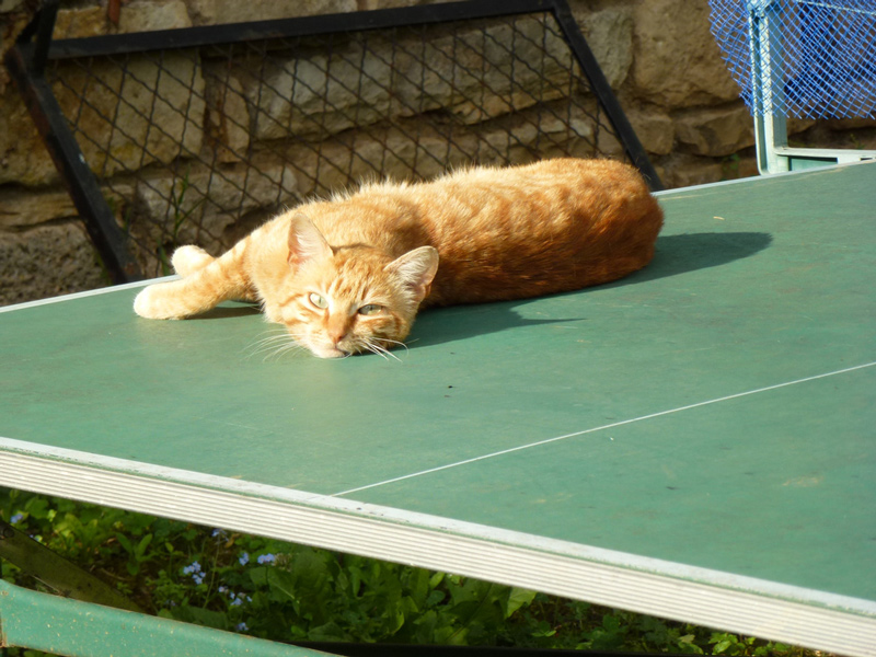 chat sur une table de ping pong