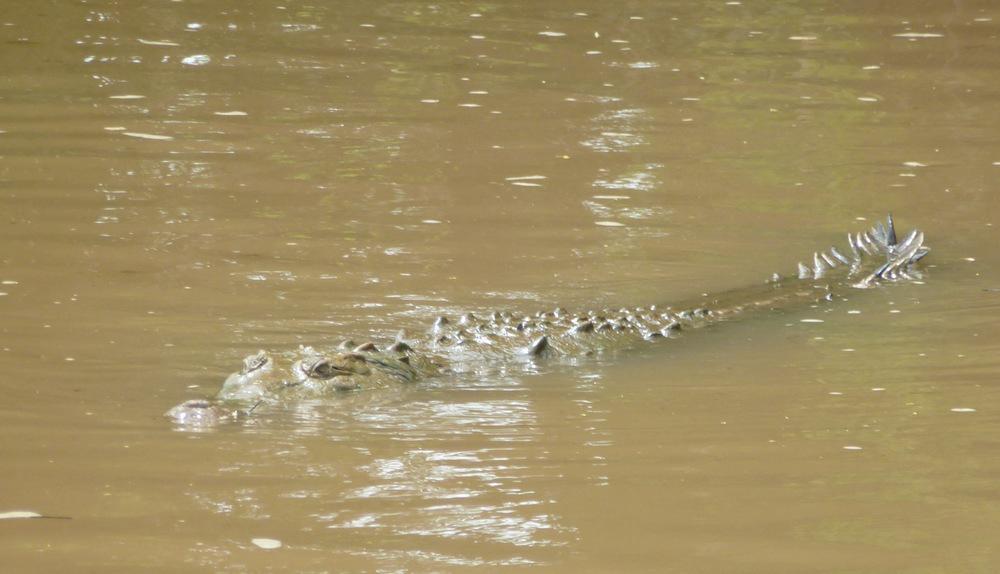 crocodile dans l'eau