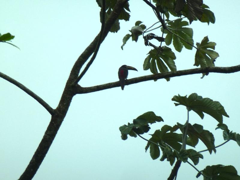 mini toucan sur sa branche