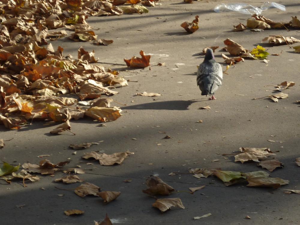 pigeon bizet de paris, on quitte la wild de la jungle