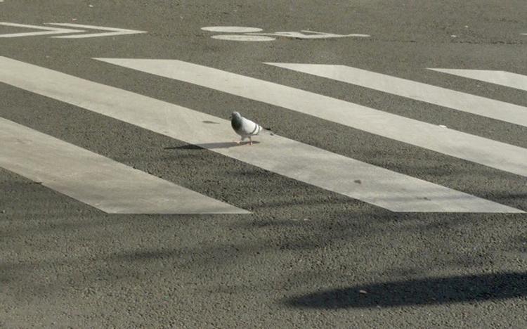 pigeon traverse la rue
