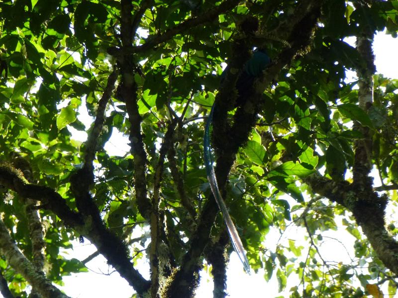 photo du Quetzal, l'oiseau rare des Mayas