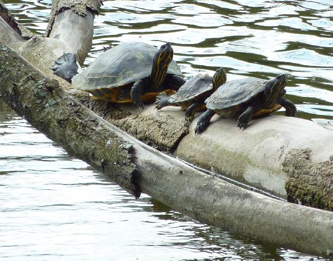les tortues bronzent au soleil